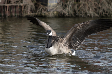 Canada Goose, one bird, swimming in canal, flapping wings photo