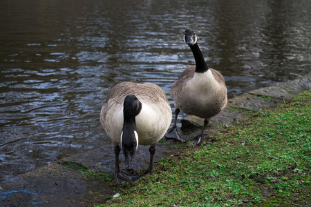 Couple of Canada Geese, standing next to water photo