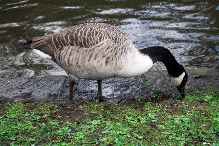 Canada Goose, one bird, foraging the grass photo