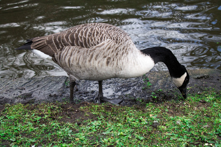 canada goose: Canada Goose, one bird, foraging the grass Stock Photo