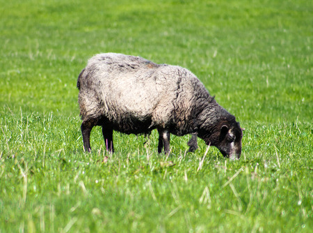 dales: Black Sheep eating grass in Yorkshire Dales