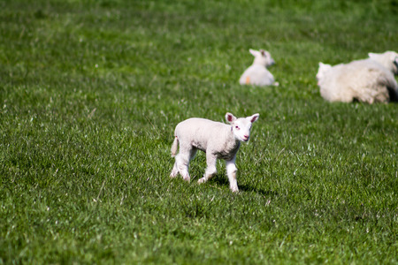 bleating: Young Lamb walking in Yorkshire Dales, England Stock Photo