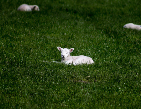 bleating: Lamb resting on the grass and winking to the camera