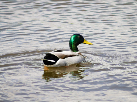 Mallard Drake swimming in the pond photo