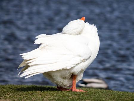 preening: Domestic Goose, preening
