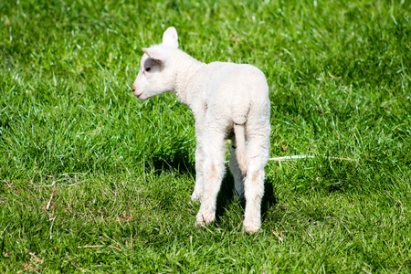 bleating: Young Lamb from the back