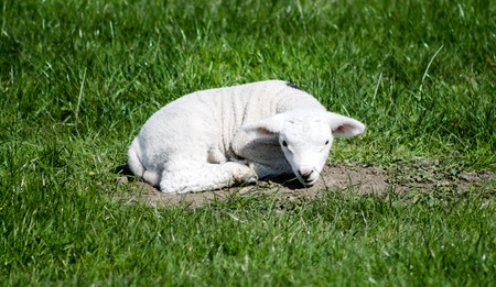 bleating: Young Lamb, resting on grass