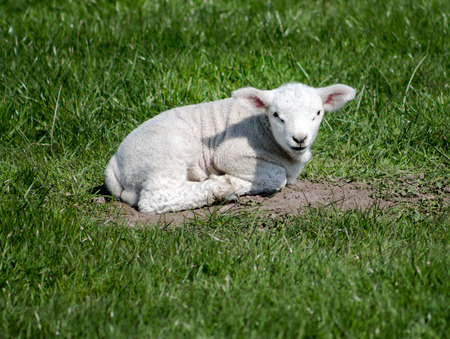 bleating: Young Lamb, resting on grass, watching towards the camera