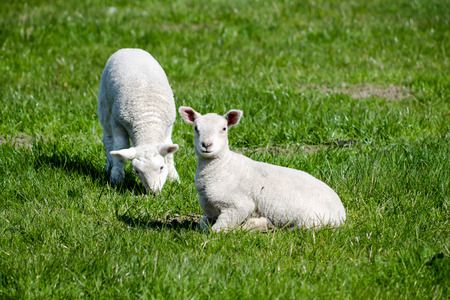 bleating: Two Young Lambs on the field