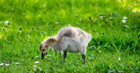 Baby Canada Goose gosling, grazing the grass photo
