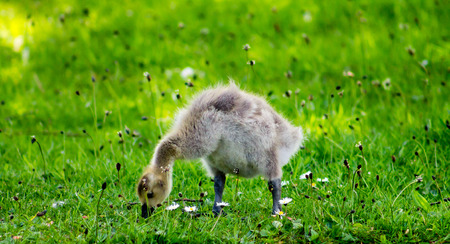 gosling: Baby Canada Goose gosling, grazing the grass