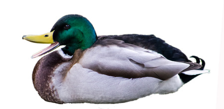 Quacking and Resting Mallard Drake, isolated to white