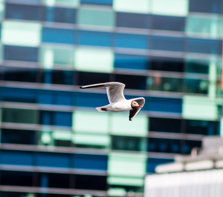 Laughing Gull flying at Salford Quays, Manchester  photo