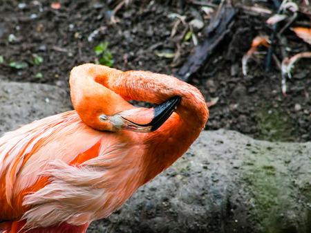 preening: Caribbean Flamingo  Phoenicopterus ruber  preening