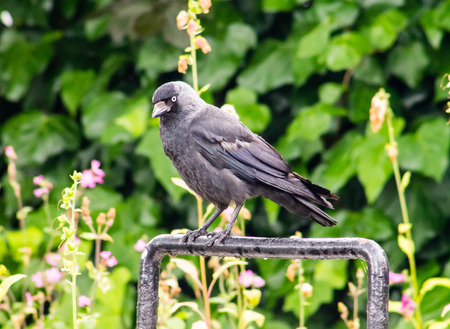 Jackdaw  Corvus monedula  standing on a cycle rack  Green vegetation on  background photo