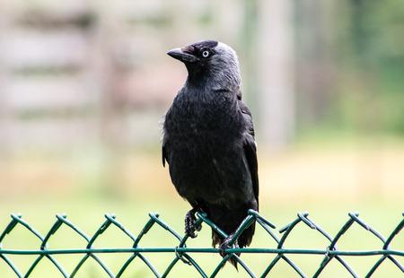 jackdaw: Western Jackdaw (Corvus monedula), on a fence