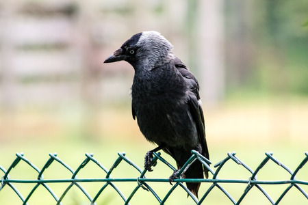 Western Jackdaw (Corvus monedula), on a fence photo
