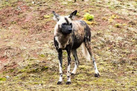 lycaon pictus: Single adult African Painted Dog (Lycaon Pictus), standing