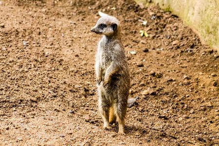 Adult Meerkat (Suricata suricatta), standing on alert, full profile photo