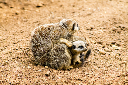 Adult Meerkat (Suricata suricatta) and cubs photo
