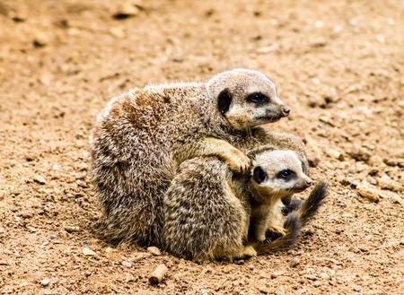 Adult Meerkat (Suricata suricatta) and cubs photo