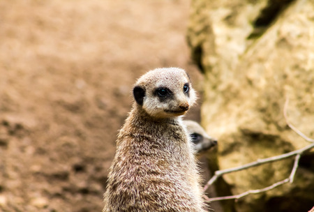Adult Meerkat (Suricata suricatta), standing on alert photo