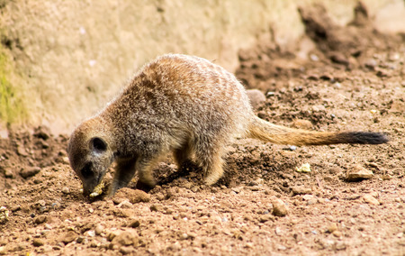 Adult Meerkat (Suricata suricatta), digging food from the ground photo