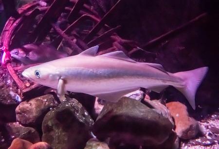 haddock: Haddock (Melanogrammus aeglefinus) swimming