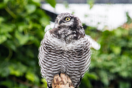 birdlife: Northern Hawk Owl (Surnia ulula), sitting on a branch