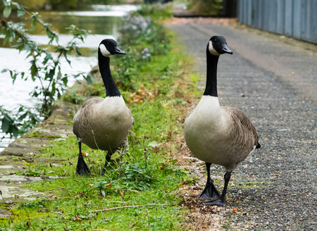 bird web footed: Canada Geese couple, walking on the road next to canal Stock Photo