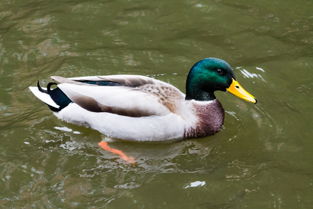 Adult Mallard Drake, swimming in the canal Stock Photo