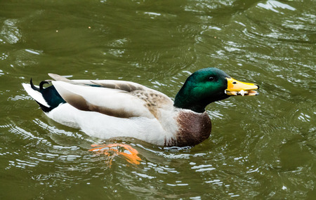 Hungry male Mallard, swimming in the canal and eating a piece of bread Stock Photo
