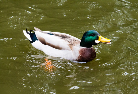 mitigated: Hungry Mallard Drake, swimming in the canal and eating bread