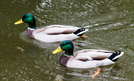 Two adult Mallard drakes, swimming in the canal Stock Photo