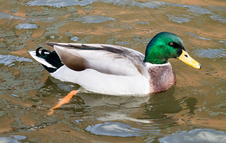 dabbling duck: Adult Mallard Drake, swimming in the canal Stock Photo