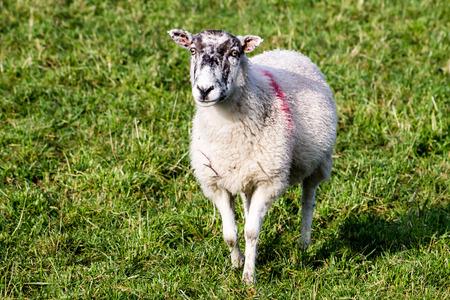 Brown Sheep, close-up, looking towards camera photo