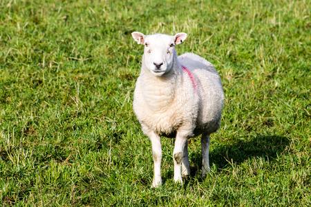 looking towards camera: Brown Sheep, close-up, looking towards camera