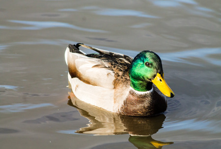 warm blooded: Adult Mallard Drake, swimming in the pond and preening