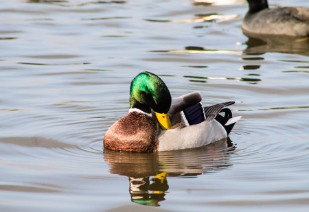 Adult Mallard Drake, swimming in the pond and preening photo