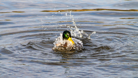 Adult Mallard Drake, splashing the water in the pond