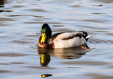 mitigated: Adult Mallard Drake, swimming in the pond and preening