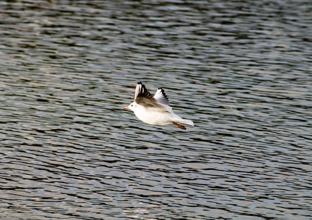 larus: Common Gull (Larus canus), flying above the pond, side view