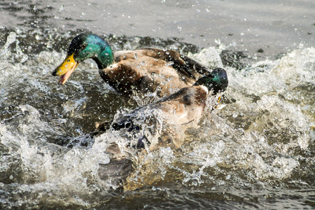 Two adult Mallard Drakes, fighting with each other photo