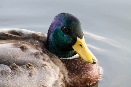 mitigated: Adult Mallard Drake, swimming in the pond and preening.