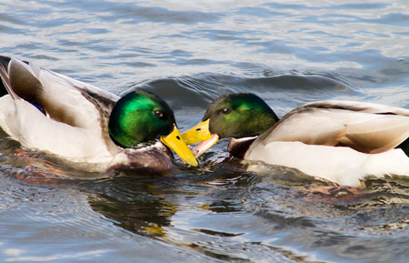 Adult Mallard Drakes, swimming in the pond and pecking each other