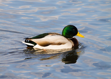 Adult Mallard Drake, swimming in the pond and preening