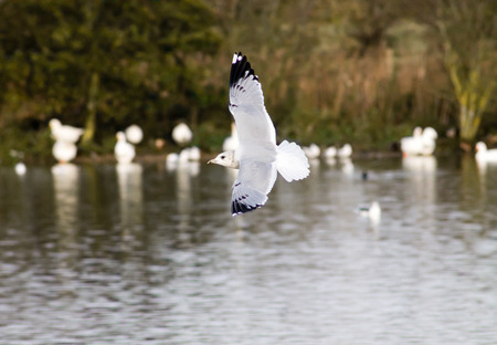 larus: Common Gull (Larus canus), flying above the pond Stock Photo