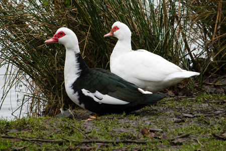 muscovy duck: Couple of wild Muscovy Duck (Cairina moschata) in the wetlands