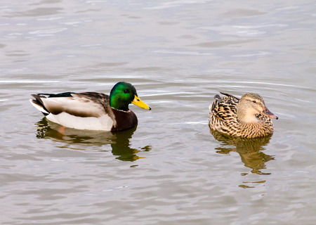 Wild Mallard Duck (Anas platyrhynchos) couple, swimming together on the water photo