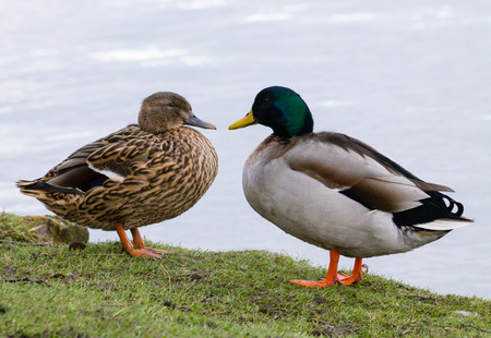 Wild Mallard Duck (Anas platyrhynchos) couple, resting together on the edge of water